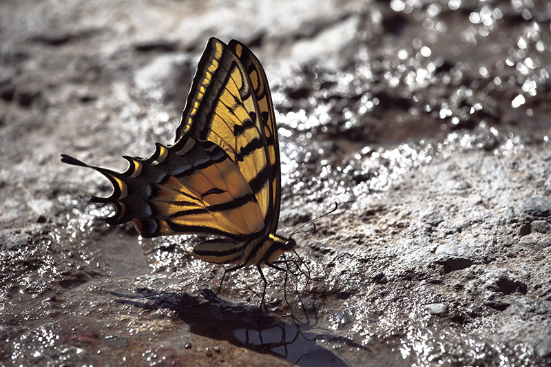 A large yellow swallowtail butterfly drinking from a stream in the Chiricahua Mountains.