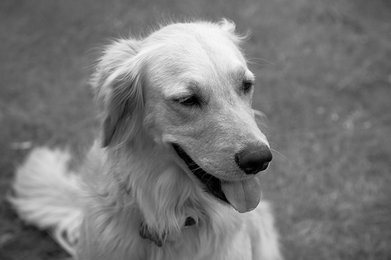 A black & white photo of a golden retriever.