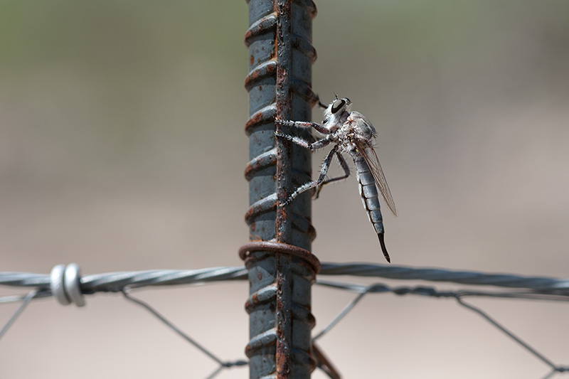 A robber fly on a re-bar fencepost.