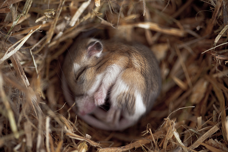 A small mouse curled up in a ball among straw, asleep.