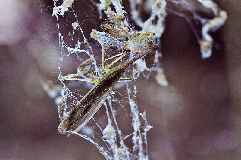 A Praying Mantis caught in a spiderweb.