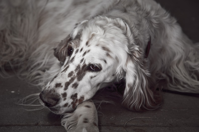 An English Setter resting.