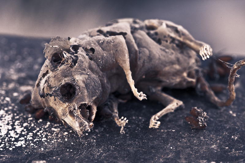 A dead, disintegrating rat.