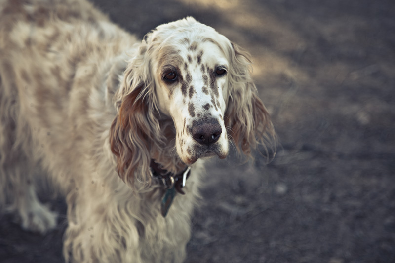 An English Setter standing in the shade.