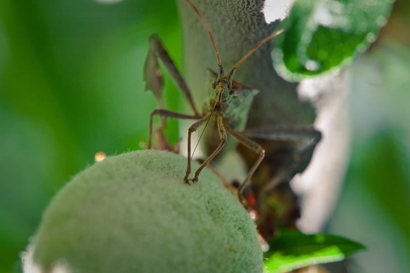 A leaf-legged bug drinking from an almond.