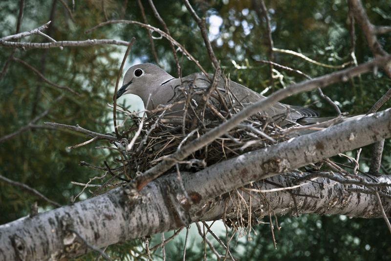 A dove sitting on its nest.