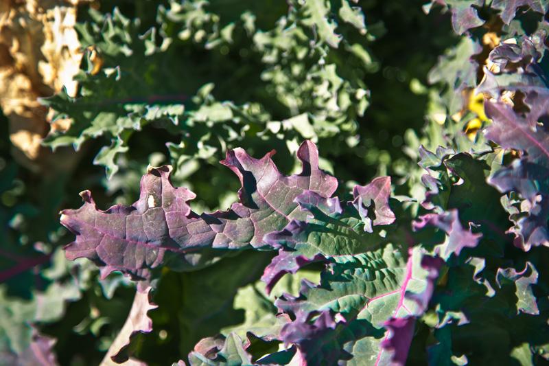 Lettuce leaves turning purple.