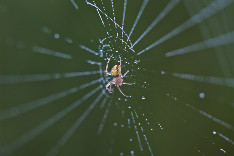 A spider sitting at the center of its dew-covered web.