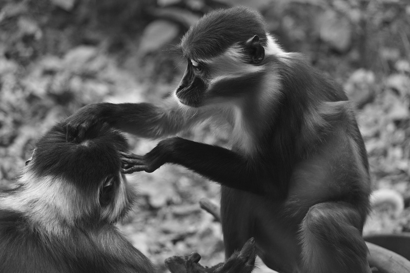 A monkey grooming the head of another.
