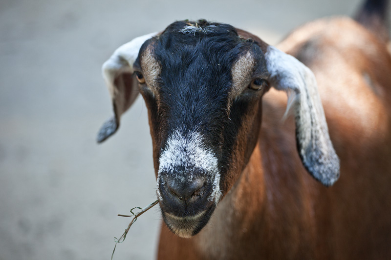 A goat with a piece of grass sticking out of its mouth.