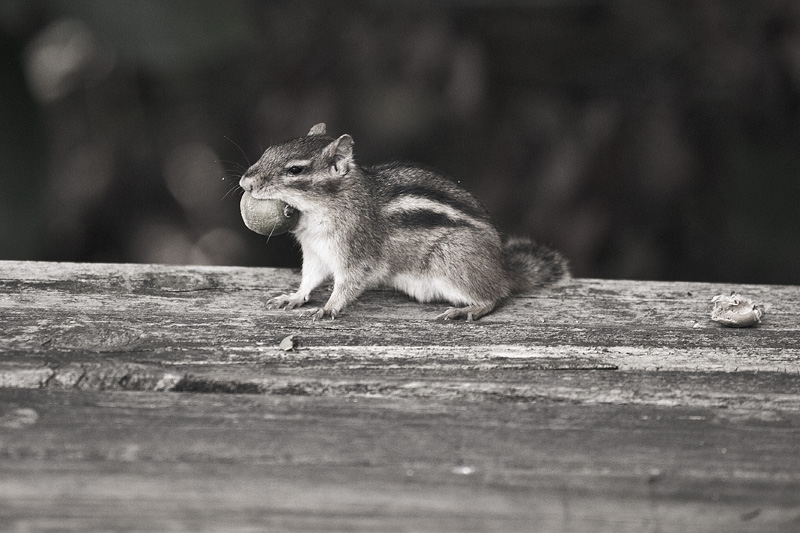 A small chipmunk carrying a giant acorn in its mouth.