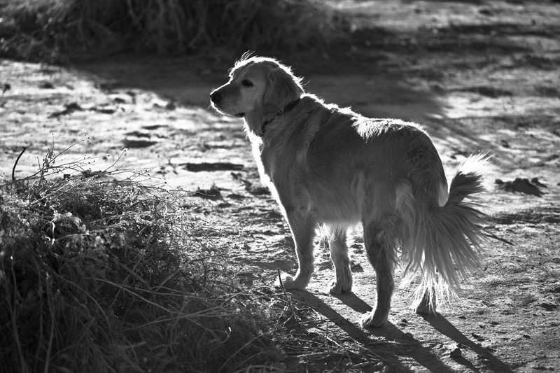 A black & white photo of a golden retriever staring off into the distance.