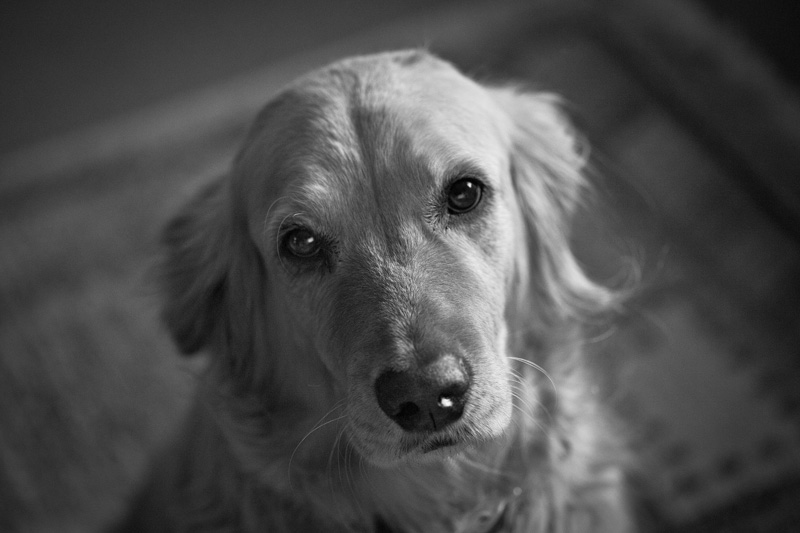 A golden retriever looking directly into the camera.