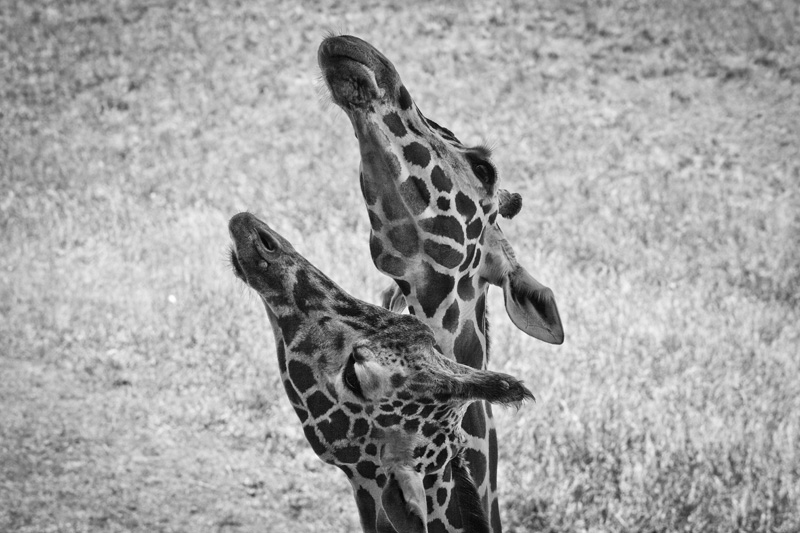 A pair of giraffes stretch upwards to reach for out of frame leaves.