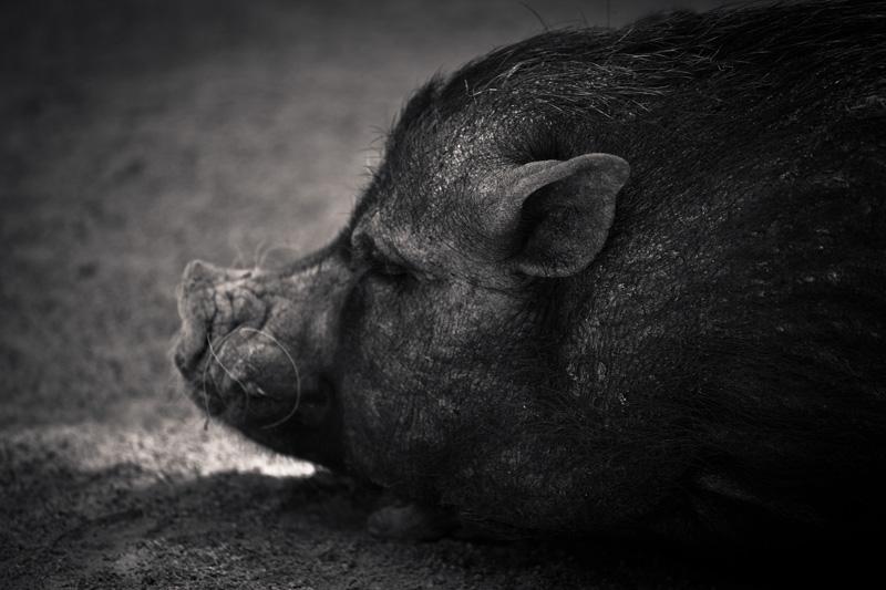 A pig slumbers.