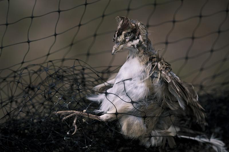 A dead bird caught in a net.