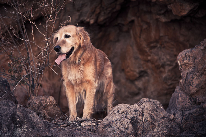 A golden retriever standing at the mouth of a cave.