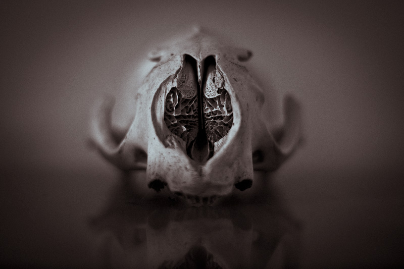 A bear skull facing the camera.