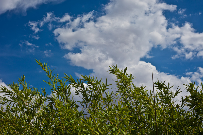 Bamboo shoots rising before a bright blue sky with puffy white clouds.