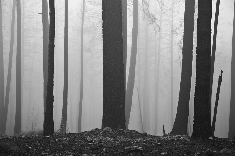 Numerous blackened tree trunks among fog.