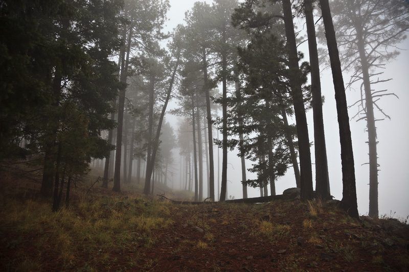 Fog among tall pine trees along an abandoned logging road in the Chiricahua Mountains in Arizona.