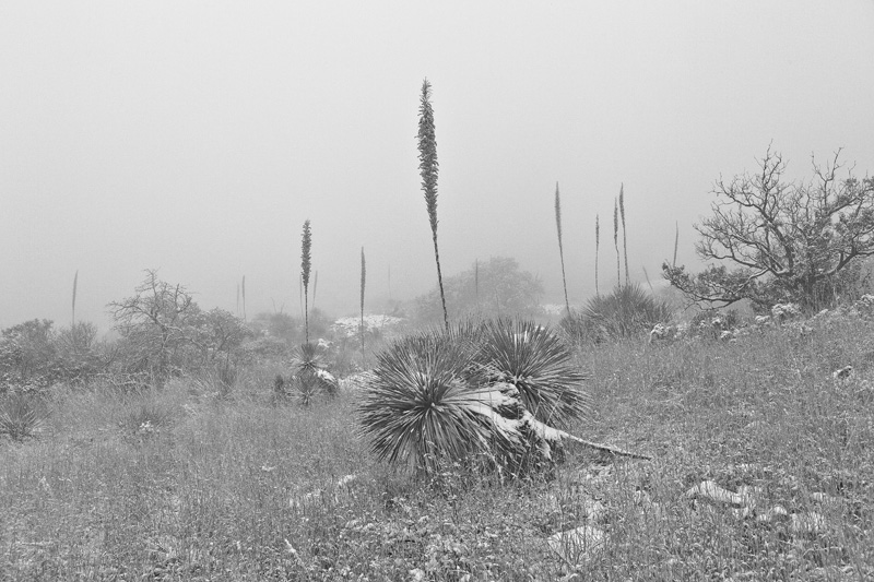 Sotol plants disappearing in the distance during a snowstorm in the Chiricahua Mountains.