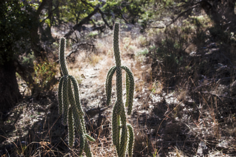 Two cacti in the Dos Cabezas Wilderness.