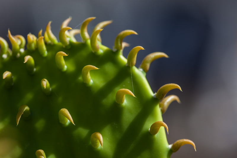 A newly formed cactus with newly formed spines and a spiderweb between them.