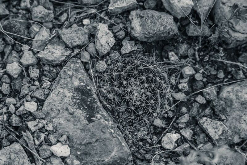 A small, flat cactus hidden in the ground.