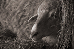Bleating and Babbling