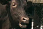 The Bovine Community Frowns <br>Upon Your Shenanigans
