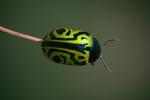 Beetleface