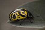 Beetleface Redux